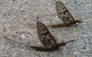 Mayflies Selfridge 06-05-2013